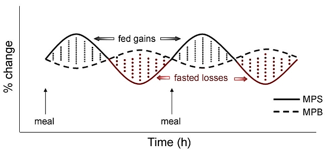 Meal induced transient protein synthesis with no net protein synthesis or anabolism