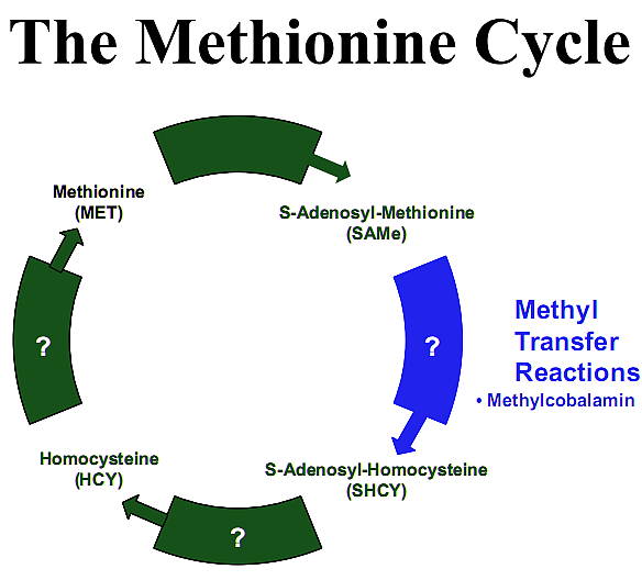 Cycle of conversion of homocycteine to methionine to S-Adenosyl-Methionine (SAMe) initiated by methylcobalamin's transfer of a methyl group.