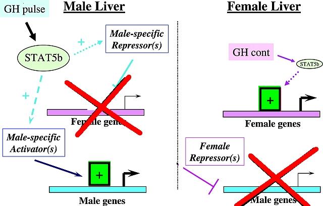 autoimmune disease of the liver