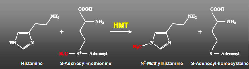 Conversion of S-Adenosyl-Methionine (SAMe) to N-methylhistamine via transfer of a methyl group to Histadine.