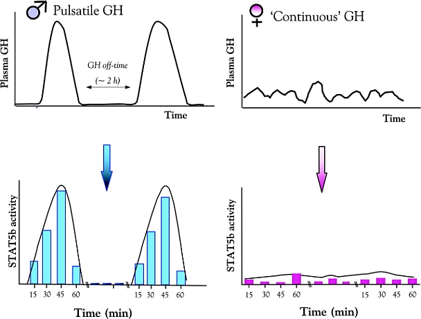GH pulsation leads to greater Stat5b activity